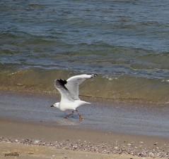 Sea Gull at Warilla beach (pat.bluey) Tags: seagull ngc australia newsouthwales 1001nights coth warilla fantasticnature flickraward warillabeach lakeelliott alittlebeauty 1001nightsmagiccity hganimals hennysanimalkingdom sunrays5 hg~spectacularbirds~