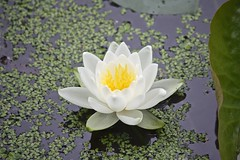 "White Waterlily • <a style=""font-size:0.8em;"" href=""http://www.flickr.com/photos/92887964@N02/14219978522/"" target=""_blank"">View on Flickr</a>"