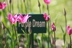Purple Dream 01 ( ) Tags: china pink flowers summer white laura beauty stpetersburg de balleri