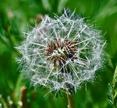Dandelion Seeds (littlestschnauzer) Tags: uk flowers white macro green nature garden nikon head seed away dandelion seeds elements float d5000