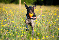 Kong Carrying Fun - Explore 22.5.14 (Peaf79) Tags: dog interestingness interesting play bert kong explore gsp buttercups germanshorthairedpointer dogplaying aquakong doginaction explored