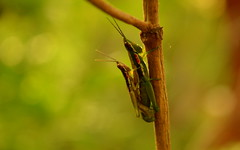 Dance of Life (Ilakkiaraj) Tags: garden insect mating grasshopper