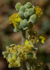 Tetragonia decumbens, Point Peron, near Rockingham, WA, 26/02/14 (Russell Cumming) Tags: plant perth westernaustralia rockingham aizoaceae tetragonia pointperon tetragoniadecumbens