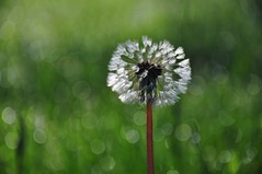 make a spectacle of yourself (christiaan_25) Tags: morning sunlight green nature wet grass sunshine fuzzy bokeh dandelion seeds sparkle explore dew 93 89 253 may282014