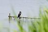 20140531-IMGP4499.jpg (Ethan_Stone) Tags: 風景 鳥 佐鳴湖 野生生物 rawあり