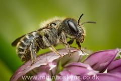 Blue Mason Bee (Osmia caerulescens) ([[BIOSPHERE]]) Tags: uk macro nature garden insect wildlife bee solitary mpe osmiacaerulescens macrolife bluemasonbee beesbeesbeesadminfave