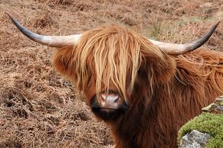 Highland cattle, Little Fell, Little Langdale, Lake District National Park, Cumbria, UK