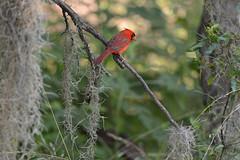 Northern cardinal (ggallice) Tags: park red state florida gainesville cardinalis northerncardinal paynesprairie cardinalidae taxonomy:binomial=cardinaliscardinalis