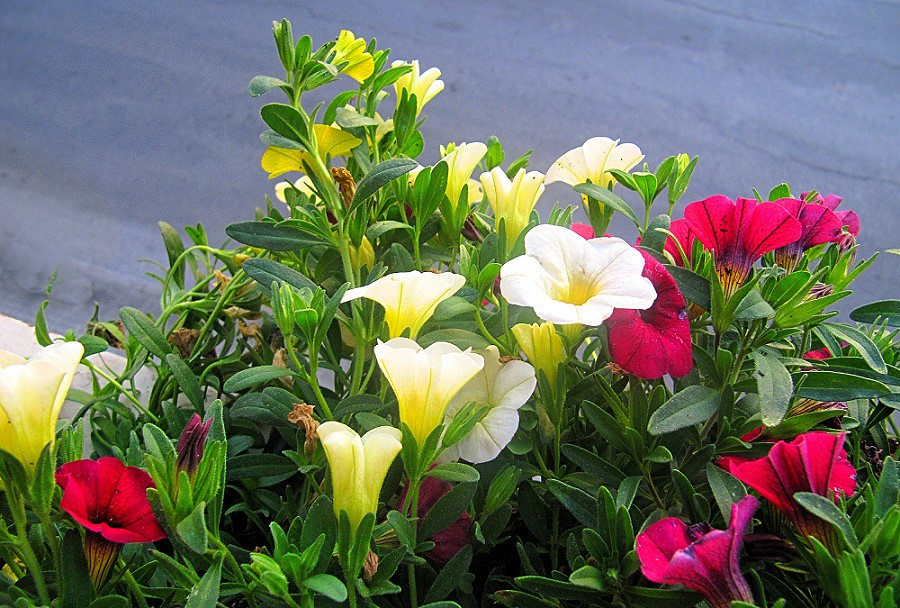 The world 39 s best photos of flowers and surfinia flickr for Surfinia balcone
