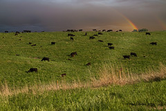 Across The Range (jackalope22) Tags: field landscape rainbow nebraska cattle
