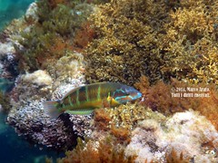 In posa (marcopa82) Tags: sea italy fish europe underwater sicily palermo mediterran thalassomapavo labridae labridi donzellapavonina