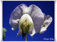 Blanca sobre azul (