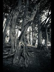 gnarly II (sebboh) Tags: sanfrancisco tree landscape cypress toned buenavistapark sonya7 rokkormd24mmf28