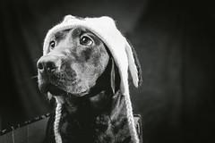 Connie (Tomas.Kral) Tags: bw dog pet hat animal studio blackwhite labrador fujifilm strobe speedlite yn560ii x100s
