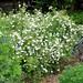McKay's White Potentilla (Potentilla fruticosa 'McKay's White')