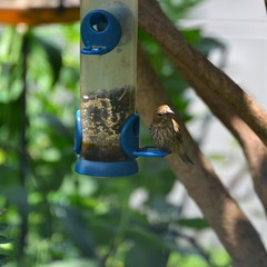 bird birdfeeder finch purplefinch
