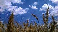 maturit (maresogno67) Tags: grano maturit spiga