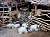 Sheep (whitworth images) Tags: wood nepal white wool animals stone barn rural pen asia sitting village sheep farm horns curly resting mustang himalaya shelter livestock agricultural chele restrictedarea ovine uppermustang annapurnaconservationarea
