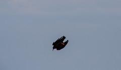 Chaugh at Loop Head IMG_1296 (grebberg) Tags: ireland bird clare crow fugl chough countyclare pyrrhocoraxpyrrhocorax pyrrhocorax loophead krke alpekrke