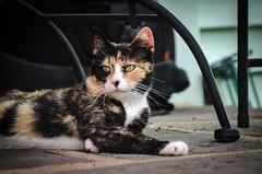 Vita (hickamorehackamore) Tags: summer ny newyork cat july kitty tortoiseshell calico newyorkstate hobart township 2014