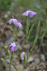 Dianthus sp. (esta_ahi) Tags: barcelona pink espaa flores spain flora flor dianthus peneds caryophyllaceae silvestres clavellina olrdola