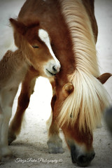 Mother's love is truly a miracle! (Terezaki ) Tags: life travel horse colors animals photography zoo photo nikon searchthebest d70 touch feel mother ponies pictureperfect shetlandpony naturesfinest shetlandislands motherslove anawesomeshot flickrdiamond theperfectphotographer natureselegantshots