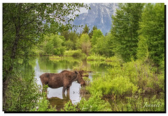 Early Morning at Pilgrim Creek (jeannie'spix) Tags: flickr moose tetons smugmug 2014 specanimal pilgrimcreek granttetons pvideo moosewilson rsized wildflowerfavorite favoritemoose