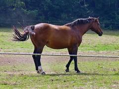 das Leben ist schn (mama knipst!) Tags: horse animal cheval natur cavallo pferd tier