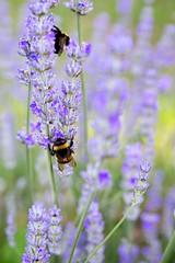 lavanda (mbeo) Tags: ticino bees lavender api lavanda pollinate foraging mergoscia valleverzasca impollinazione mbeo bottinare