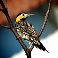 carpintero (Mostly Tim) Tags: bird birds woodpecker bolivia pjaros campo bolivien vogel flicker pjaro gelbschwarz colaptescampestris santacruzdelasierra carpinterocampestre feldspecht