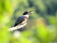 BELTED KINGFISHER (female) (imeshome) Tags: