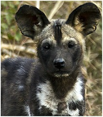"Standing still for a mo' (A.M.G.1) Tags: africa wild dog film nature animals canon southafrica photo flickr photographer natural wildlife review cubs krugernationalpark goodman wilddog andygoodman ngala southafricanwildlife photography"" africanwilddogs naturesgallery amg1 ultimateshot southernafricanwildlife wildlifesouthafrica nginationalgeographicbyitalianpeople goodmanandy wild"" wildlifeinsouthernafrica africanwildlifephotographer wildilfephotographer"