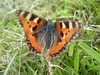 WORN SMALL TORTOISESHELL 11-03-2015 DSCN8136 (Coventry City Council) Tags: coombecountrypark coombeabbey coventry