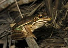 Green and Golden Bell Frog (Litoria aurea) (Heleioporus) Tags: green golden bell frog litoria aurea south coast new wales
