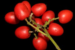 Ganophyllum falcatum (andreas lambrianides) Tags: ganophyllumfalcatum sapindaceae scalyash daintreehickory australianflora australiannativeplants australianrainforests australianrainforestplants australianrainforestfruitsandseeds arffs redarffs arfp warfp qrfp ntrfp lowlandarf monsoonarfdryarf