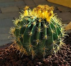 20170317 Fish Hook Barrel Cactus (lasertrimman) Tags: 20170317 fish hook barrel cactus fishhook fishhookbarrelcactus ferocactuswislizeni ferocactus wislizeni compassbarrel