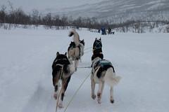 Dog Sledding Norway (andala08) Tags: tromsö2017 dog sledding norway winter dogsledding husky norwegen snow canon eos 70d