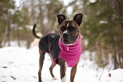Greta (syzygial) Tags: greta americanpitbullterrier pitbull boxermix boxer rescuedog