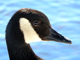 Outarde / Bernache du Canada / Branta canadensis / Canada Goose /