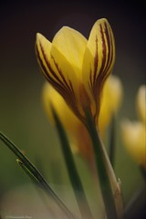 Striped! (Manon van der Burg) Tags: blooming striped yellow depthoffield sony natuurfotografie naturelover macrophotography delighted inapoolofmud macro flower krokus signofspring crocus