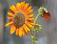 MY APRIL FOOL (Irene2727) Tags: sunflower flower flowers flora nature yellow red macro