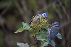 Herrerillos (seguicollar) Tags: primavera pájaro dos duo jardínbotánico virginiaseguí vegetal vegetación flower flor flores hojas leaf leaves nikond7200 herrerillo pareja cabeza líneas azul bleu amarillo