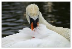 Orden al plumaje (antoniocamero21) Tags: retrato foto color minolta ave plumas cisne