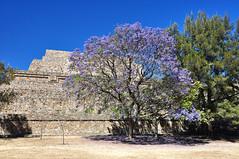 Monte Alban, Mexico (D-A-O) Tags: montealban oaxaca mexico precolumbian civilisation temples platforms archaeological history zapotec nikond90 jacaranda tree colour flowers pyramid