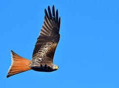 Red Kite (Gary Vause) Tags: muddyboots harewoodredkites milvusmilvus raptor birdofprey