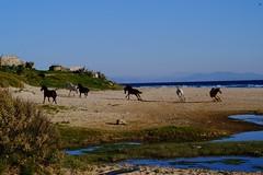 Galopando por la playa (ameliapardo) Tags: caballos hipica playa agua cielo mar arena galope airelibre andalucia bolonia cádiz sevilla españa