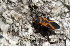 Not What it Seems (brucetopher) Tags: bug macro orange black milkweed milkeweedbug false mimic lookalike colorful bright insect critter creature tiny beauty beautiful pattern elytra micro rock crawl