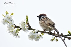Tree Sparrow on Plum Blossom (Karen Miller Photography) Tags: nature wildlife eastlothian outdoors animal scotland spring nikond7200 tamron150600mm bird gardenbirds tree perch sparrow blossom plum