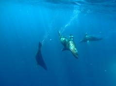 Trio (Snirk) Tags: seal underwater gopro montague island seals narooma snorkelling animal