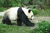 動物園_363 (Taiwan's Riccardo) Tags: 2014 taiwan digital color dslr nikond600 nikonlens afs nikkor zoom 18200mmf3556 vr 台北市 木柵 動物園 熊貓 panda 團團